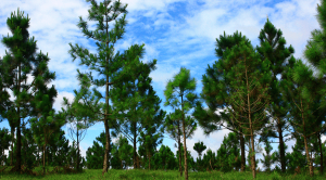 Plantation of Pinetree